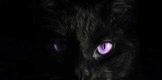 purple eyes black cat surrealism photography